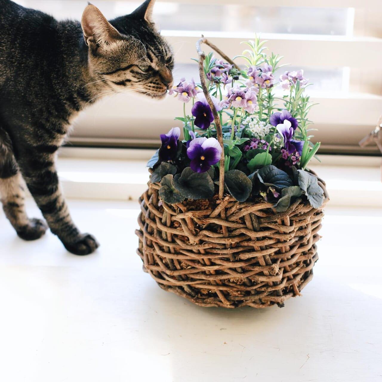 春のお花&球根とローズマリーの寄せ植え寄せ植えできました️最近ずっと裏側だけローズマリーをお見せしていたやつです︎籠は1番不格好に編めた籠でしたがサイズ的には使いやすいです︎ビオラネメシアアリッサムムスカリスノードロップラブラドリカローズマリー球根は隠れるように植え付けしました。咲いてきたときに野原のようになると思います︎#寄せ植え#春の花 #春の寄せ植え#ビオラ#ネメシア#アリッサム#ムスカリ#スノードロップ#ラブラドリカ#ローズマリー#球根#籠#籠編み#ガーデニング#趣味の園芸 #花のある暮らし #花のある生活 #ネコと植物️球根はネコにはダメです♀️#カワウソちゃん 🐈#植物のある暮らし #ハーブのある暮らし #ハーブの寄せ植え#ハーブを暮らしに #植物のある生活 #植物と暮らす#地域猫活動#地域猫の鼻チョビちゃん 支援shopで寄せ植えいかがでしょうか?🤫2021.01.23  #植物がないと生きていけない 
