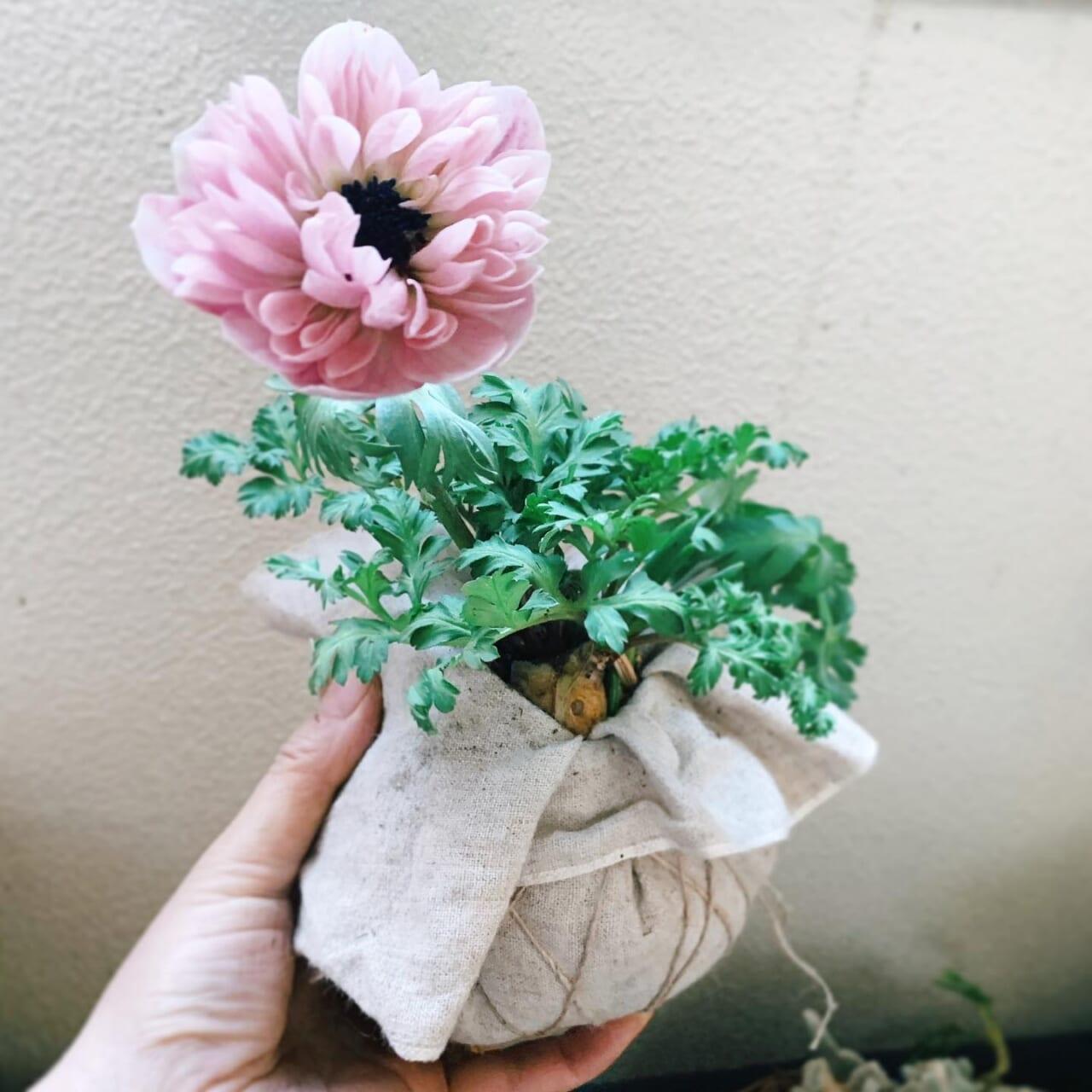 アン・アリス、人気で貴重なアネモネ。自分用に一株だけ︎これ見てどう仕上がったか、わかる方はかなりの園芸好きな方でしょう続きは次のpostで✍️#アネモネ#アネモネアンアリス #春の花#ガーデニング#ベランダガーデニング#花のある暮らし #花と暮らす #植物のある暮らし #植物のある生活 #植物がないと生きていけない 2021.02.01 かご寄せ植えにお問い合わせをありがとうございます、また作らせていただきます
