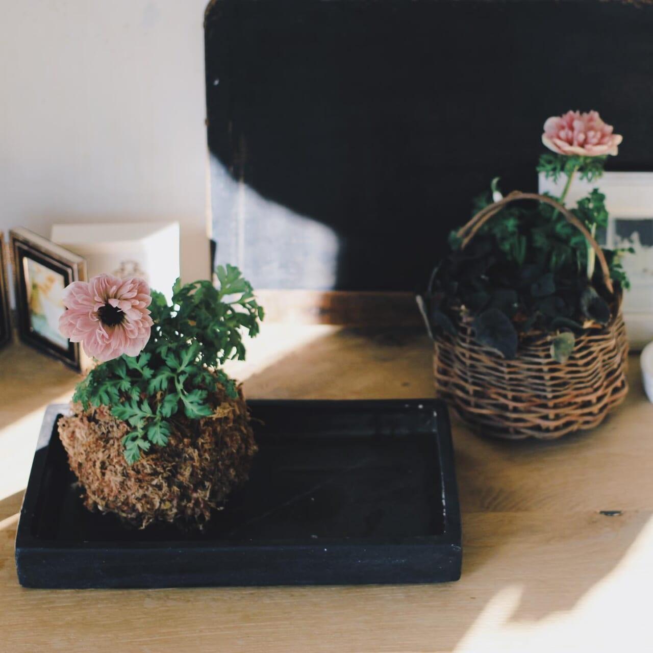 アン・アリスは苔玉にしました︎水苔の苔玉です。初めてアン・アリスを迎えてみると苗は少し弱さを感じました。(一緒に販売されていた苗みんなそんな感じが…お店によっても違うかもしれません)根っこに一番近い下葉のあたりに多少グラつきがあったり葉が少し弱いかな?と苔玉にして、補強した感じです。せまい中に、ムスカリも入れてみましたさてさて、どうなるか︎ちなみに右隣の籠のは同じアネモネの ぽると という品種です。咲くと見分けがつかないくらいそっくり!ぽるとのほうが、苗としてしっかりした感じがありました。ぽるとも人気ですよね︎苔玉にして数日たちましたがいまのところ活き活きしています#アネモネ#アネモネアンアリス #苔玉#苔玉作り→youtubeのカーメン君も解説してましたよー︎#カーメン君#籠#かご編み 🧺#春の花#ガーデニング#ベランダガーデニング#趣味の園芸#園芸#園芸部 #花のある暮らし #花が好き #植物のある暮らし #植物のある生活 #植物がないと生きていけない 2021.02.02 動物病院の待合室よりノ..●︎
